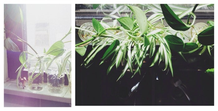 plant-clippings-rooting